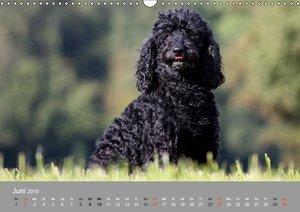 Graue Schnuten - Hunde in den besten Jahren (Wandkalender 2019 D