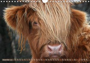 Highland Cattle - Native Breed of Scotland (Wall Calendar 2020 D