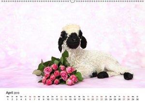 Walliser Schwarznasenschaf Valais Blacknose Sheep (Wandkalender