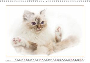 Katzen - Treue Begleiter (CH - Version) (Wandkalender 2019 DIN A