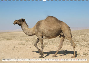 Lamas und Co. Familie der Kameliden (Wandkalender 2019 DIN A2 qu
