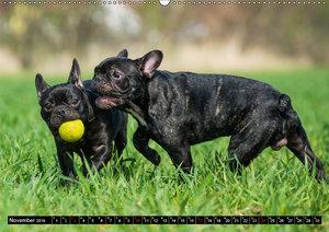 Französische Bulldogge - Clown auf 4 Pfoten (Wandkalender 2019 D