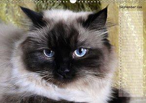 Katzen im Porträt / Geburtstagskalender