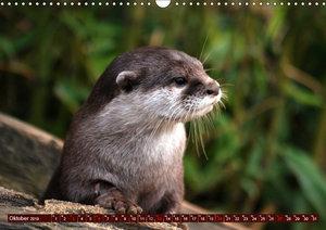 Otter. Frech, laut und clever (Wandkalender 2019 DIN A3 quer)