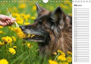 Zauberhafte Langhaar Schäferhunde