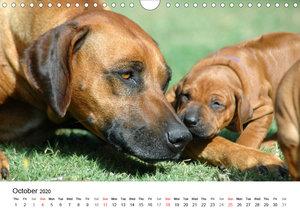 Rhodesian Ridgeback Puppies (Wall Calendar 2020 DIN A4 Landscape