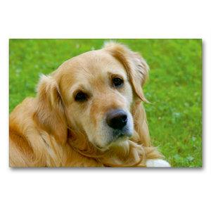 Premium Textil-Leinwand 90 cm x 60 cm quer Hundeportrait - Golde