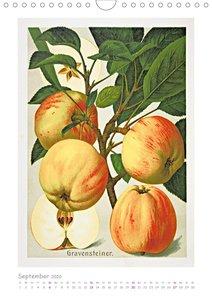Äpfel/Appels. Alte ostfriesiache Sorten