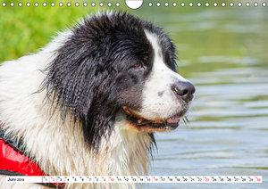 Landseer - Ein starker Freund auf 4 Pfoten