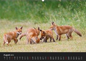 Füchse in freier Natur (Wandkalender 2019 DIN A2 quer)