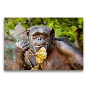 Premium Textil-Leinwand 75 cm x 50 cm quer Schimpanse