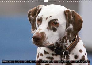 Gefleckte Freunde - Hunderasse Dalmatiner