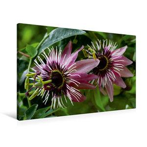 Premium Textil-Leinwand 90 cm x 60 cm quer Passiflora x violacea