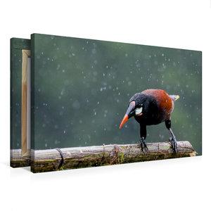 Premium Textil-Leinwand 75 cm x 50 cm quer Montezuma Stirnvogel