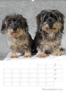 Der Dackel - mein kleiner Freund (Wandkalender 2019 DIN A2 hoch)