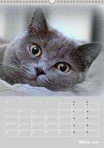 Graue Engel - Britischkurzhaar-Katzen (Wandkalender 2019 DIN A3