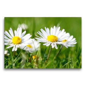 Premium Textil-Leinwand 75 cm x 50 cm quer Weiße Gänseblümchen