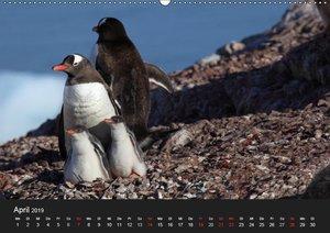 Die Antarktis / CH-Version (Wandkalender 2019 DIN A2 quer)