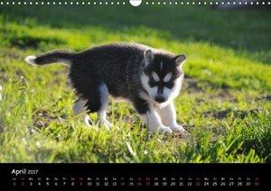 Huskys - Traumhunde