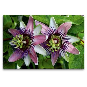 Premium Textil-Leinwand 120 cm x 80 cm quer Passiflora belotii ´