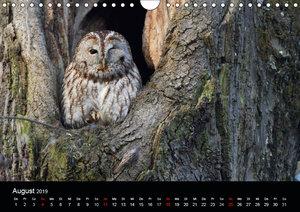 Waldkäuze, fotografiert in München (Wandkalender 2019 DIN A4 que