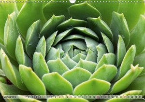 Sempervivum - Hauswurz (Wandkalender 2019 DIN A3 quer)