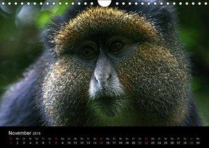 Herzog, M: Affen in Afrika (Wandkalender 2015 DIN A4 quer)