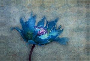Premium Textil-Leinwand 90 cm x 60 cm quer blue papaver