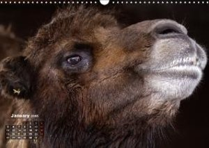 Camels / UK-Version (Wall Calendar 2015 DIN A3 Landscape)