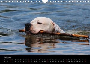 American Bulldog - stolz, loyal, einzigartig (Wandkalender 2016