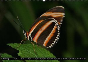 Tropical Butterflies / UK-version (Wall Calendar perpetual DIN A