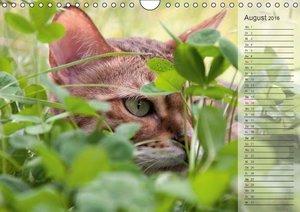 Die Bengalkatze. Ein fotografisches Portrait (Wandkalender 2016