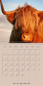 Highland Cows (Wall Calendar 2015 300 × 300 mm Square)