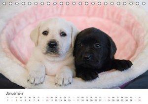 Labrador Welpen (Tischkalender 2016 DIN A5 quer)