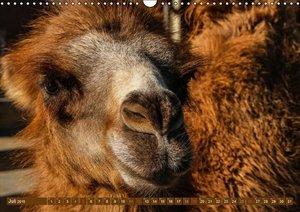 Stanzer, E: Kamele . Dromedar & Trampeltier (Wandkalender 20