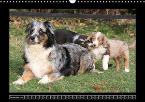 Australian Shepherd (Wandkalender 2016 DIN A3 quer)