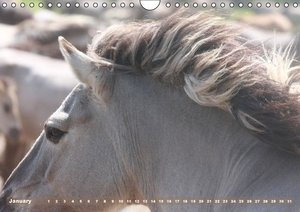 Dülmen Pony - Wild horses / UK-Version (Wall Calendar perpetual