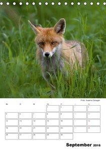 Rotfuchs - Impressionen (Tischkalender 2016 DIN A5 hoch)