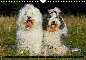 Traumhund Bobtail