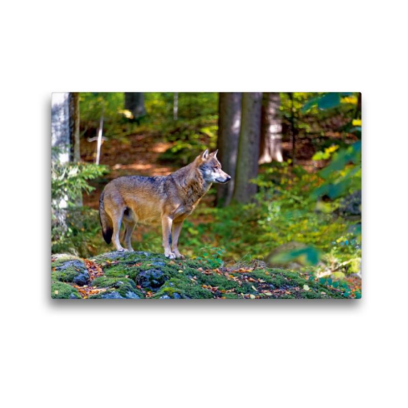 Premium Textil-Leinwand 45 cm x 30 cm quer Wolf im Tierfreigelän - zum Schließen ins Bild klicken