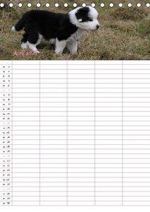 Border Collie Welpen - Familienplaner (Tischkalender 2019 DIN A5