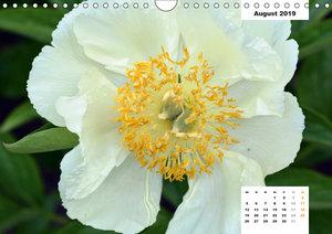 Zauber der Päonien-Blüte (Wandkalender 2019 DIN A4 quer)