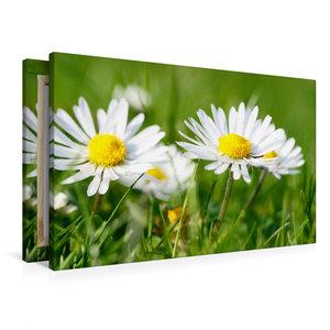 Premium Textil-Leinwand 90 cm x 60 cm quer Weiße Gänseblümchen
