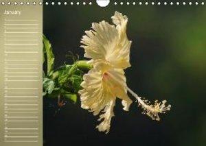 Delicate Beauties Hibiscus Flowers (Wall Calendar perpetual DIN