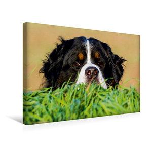 Premium Textil-Leinwand 45 cm x 30 cm quer Berner Sennenhund - I