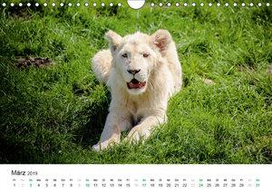 Weiße Baby Löwen - Süß und verspielt (Wandkalender 2019 DIN A4 q