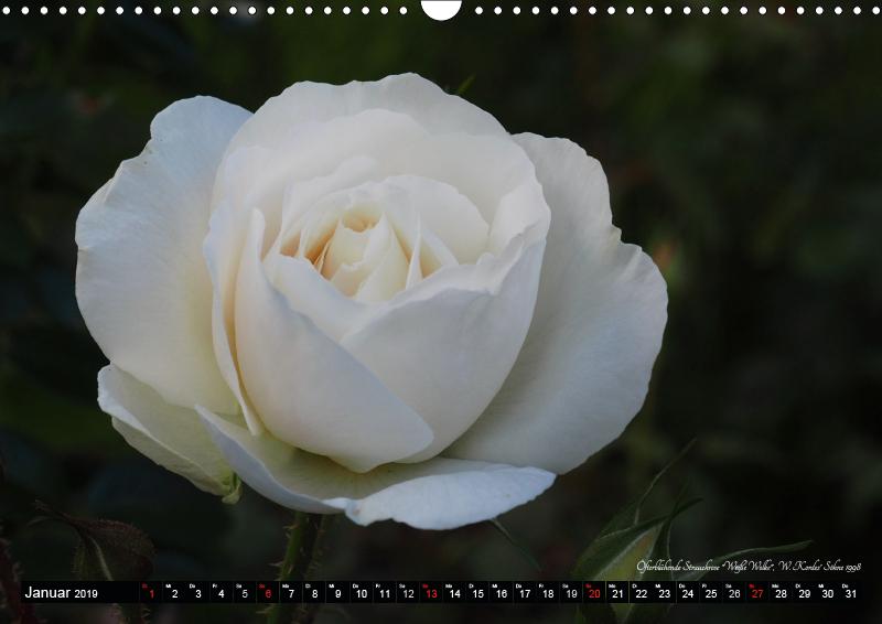 Die Namen der Rosen (Wandkalender 2019 DIN A3 quer) - zum Schließen ins Bild klicken