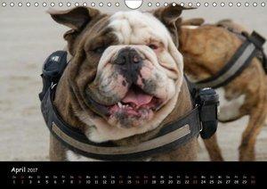 Faszination Bulldogge