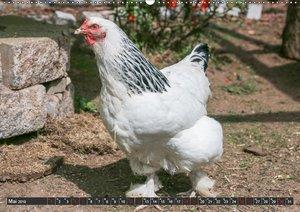 Hühner im eigenen Garten (Wandkalender 2019 DIN A2 quer)