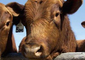 Rinder . Kuh & Bullen-Gesichter (Posterbuch DIN A3 quer)